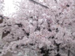 玄関の桜2