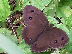 オオバコの葉 ジャノメチョウ チョウ 0713