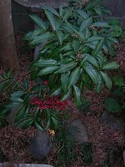 紅葉の陰のマンリョウ 0114