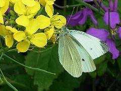 花に蝶 ナノハナ チョウ ムラサキハナナ 0422