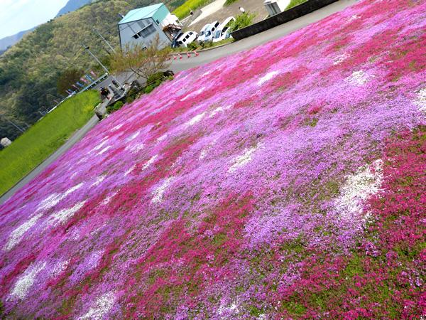 徳島県美馬市脇町 広棚の芝桜 シバザクラ 2015