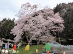 徳島県美馬郡つるぎ町貞光 吉良のエドヒガン桜 2014