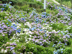 久藪あじさいの里 紫陽花 アジサイ