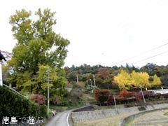 徳島県名西郡神山町 大久保の乳いちょう 2016