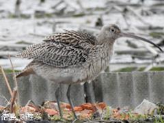 徳島県鳴門市 れんこん畑 ホウロクシギ 2016