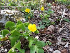 四国山岳植物園 岳人の森 山吹草 ヤマブキソウ 2013