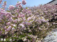 徳島県板野郡上板町 岡田製糖所 八重桜 2016