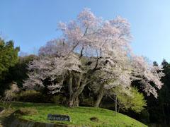 吉良のエドヒガン桜 2012