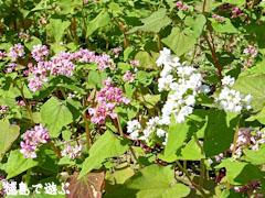 赤蕎麦の花 白蕎麦の花
