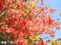 徳島県名西郡神山町 四国山岳植物園 岳人の森 オンツツジ 2016
