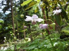 徳島県 神山町 岳人の森 レンゲショウマ 蓮華升麻 2016