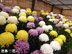 徳島県吉野川市 第75回 鴨島大菊人形、第83回 四国菊花品評会 2015