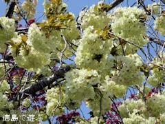 徳島県板野郡上板町 岡田製糖所 ウコン桜 2016