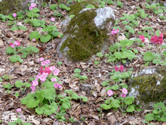 徳島県名西郡神山町 四国山岳植物園 岳人の森 シコクカッコソウ 2014