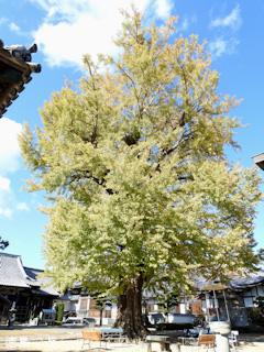 徳島県板野郡板野町羅漢 地蔵寺のイチョウ 2016