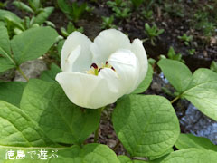 四国山岳植物園 岳人の森 山芍薬 ヤマシャクヤク 2013