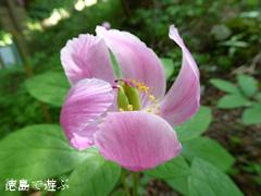 徳島県名西郡神山町 岳人の森 ベニバナヤマシャクヤク 2015
