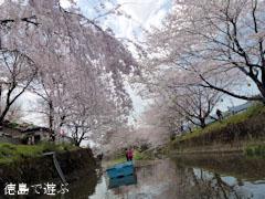 勝浦さくら祭り 2012