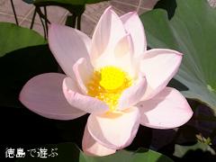徳島県立埋蔵文化財総合センター 古代蓮 オオガハス 2013
