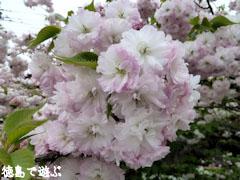 岡田製糖所 八重桜