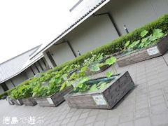 板野郡板野町 徳島県立埋蔵文化財総合センター 大賀ハス 2016