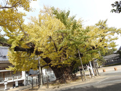 徳島県鳴門市撫養町木津 長谷寺 オハツキイチョウ 2017