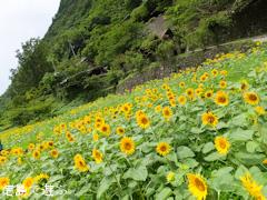 花々の里よこせ 向日葵 2013