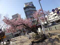 両国橋東公園 寒桜 2013