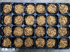吉良のエドヒガン桜 種蒔き準備