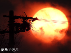 2015年 最後の夕方 コウノトリ 鸛 電柱の上 巣 夕日