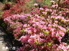 徳島県名西郡神山町 上分花の隠里 ツツジ 2014