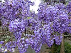 徳島県名西郡神山町鬼籠野 神光寺 のぼり藤 2016