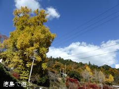 神山町 大久保の乳いちょう 2013