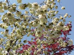 徳島県板野郡上板町 岡田製糖所 ウコン桜 2014