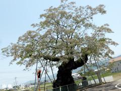 徳島県阿波市阿波町 野神の大センダン 2014
