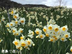 徳島県 あすたむらんど徳島 風車の丘 スイセン 水仙 2015