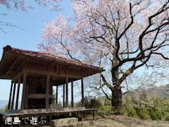 桜堂 ひょうたん桜 2012