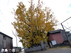 徳島県板野郡上板町 乳保神社のイチョウ 2016