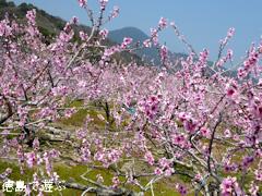 徳島県鳴門市大麻町 桃の花 2015