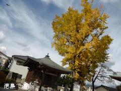 光福寺のイチョウ 2013