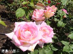 藍住 春のバラまつり バラ園 藍翠苑 2013