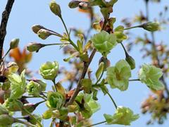 桜 御衣黄 鳴門