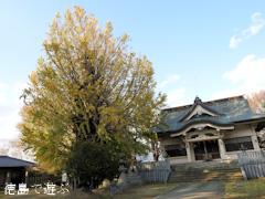 徳島県名西郡石井町 矢神のイチョウ 2015