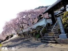 徳島県名西郡神山町 明王寺 しだれ桜 2014