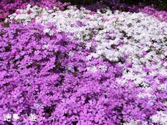 広棚の芝桜 2013