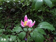 岳人の森 ベニバナヤマシャクヤク 紅花山芍薬 2013