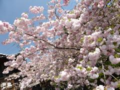 徳島県板野郡上板町 岡田製糖所 八重桜 2014