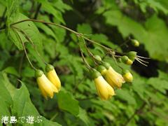 徳島県 神山町 岳人の森 キレンゲショウマ 黄蓮華升麻 2016