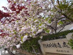 岡田製糖所 八重桜 2013