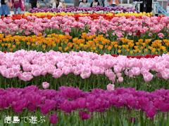 徳島県板野郡北島町 きたじまチューリップフェア 2016